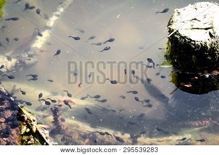A Lot Of Tadpoles In The Pond