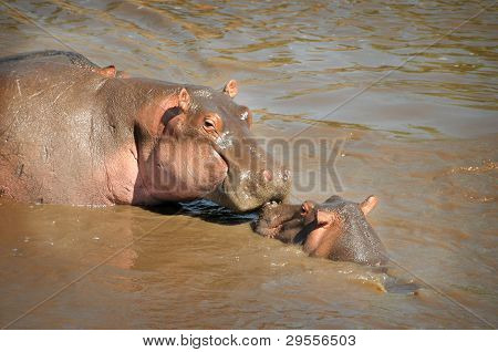 Mother hippos 'kissing' her baby
