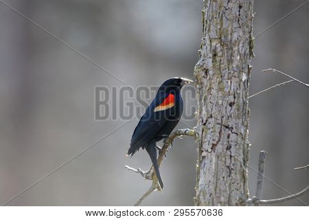 Red winged black bird on the tree branch