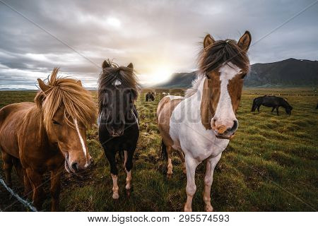 Icelandic Horse In Scenic Nature Of Iceland.