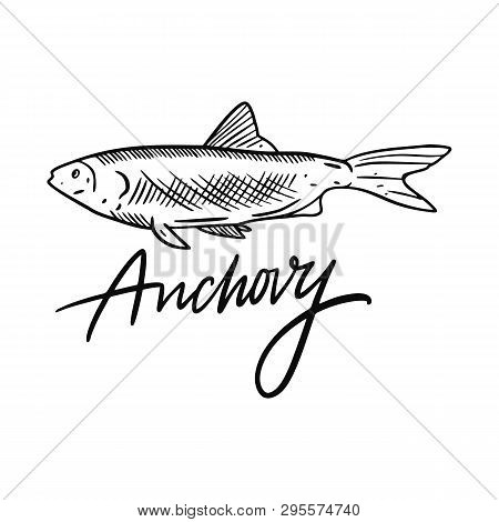 Fish Anchovy. Hand Drawn Vector Illustration. Engraving Style. Isolated On White Background.