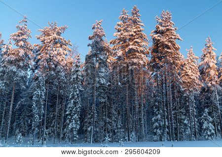 Pine Tree Line In Winter With Snow.