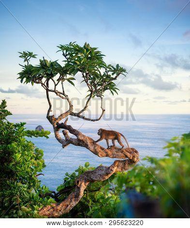 Monkey On The Tree. Animals In The Wild. Landscape During Sunset. Kelingking Beach, Nusa Penida, Bal