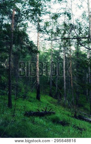 Forest landscape with trees growing at the mountain slopes, cloudy forest nature scene, gloomy forest landscape. Cloudy forest nature in cold tones, forest in the dark evening