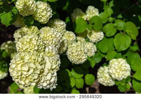 Full bloom of viburnum plicatum, also known as Japanese snowball flowers ( oodemari ) in springtime sunny day poster