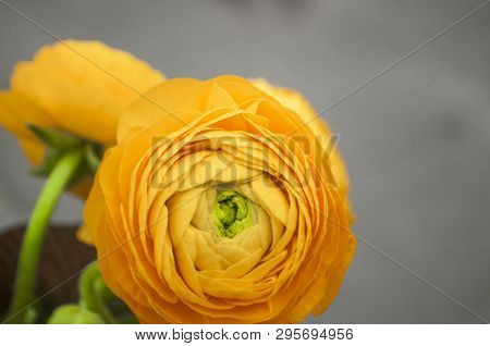 Beautiful Fresh Yellow Color Ranunculus On Grey Background With Copyspace.