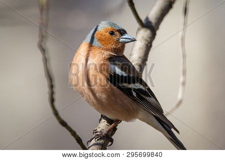 Adult Common Chaffinch Perching On Thin Branch With Blurred Blue Background. Chaffinch (fringilla Co
