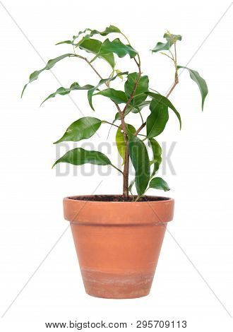 Ficus Benjamina Or Weeping Fig (cultivar Monique) In Flowerpot Isolated On White Background