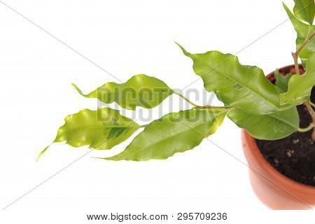 Branch Of Ficus Benjamina Or Weeping Fig (cultivar Golden Monique) With Green Leaves Isolated On Whi