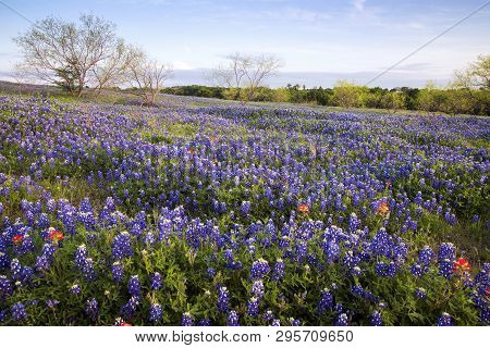 Bluebonnets On A Ranch In Texas Hill Country