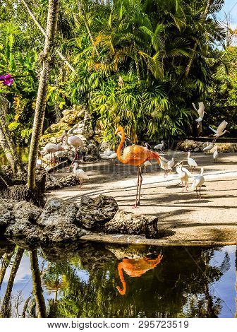 Florida White And Pinkish Orange Flamingos And White Ibises On A Man Made Island At Flamingo Gardens