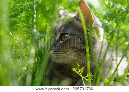 A Gray Cute Cat With Green Eyes Is Yawning Among Verdant Carrot Tops On A Warm Day.