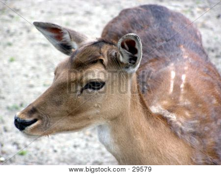 Closeup Of A Deer