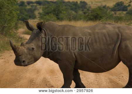 White Rhinoceros In Kruger National Park