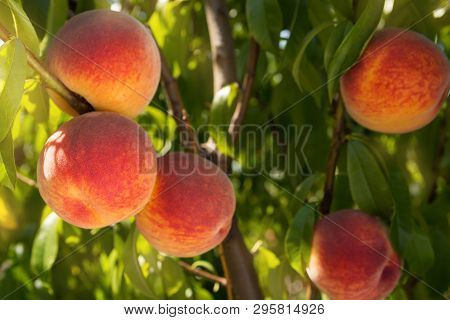Many Ripe Peaches On The Branches Of A Tree, The Concept Of Harvest