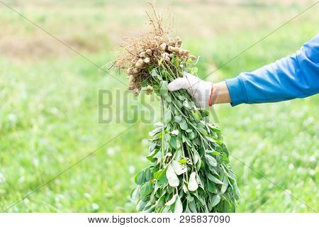 Closeup Gardener Holding Fresh Raw Peanut With Happy Face In The Green Field, Selective Focus