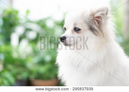 Closeup Face Of Puppy Pomeranian Looking At Something With Green Nature Background, Dog Healthy Conc