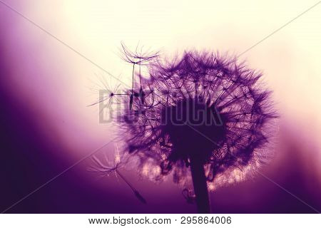 Fluffy Dandelion In Purple Color With Backlight. Blurred Background Suitable For Lettering.