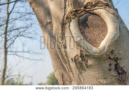 Callus Tissue  Around  The  Edges  Of  The Tree Wound Caused By Pruning.