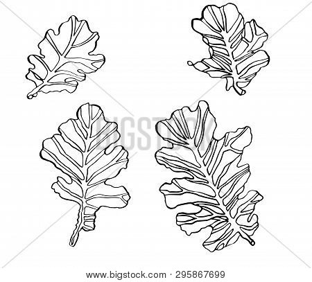 Decorative Set Vector Illustration Oak Leaves With Streaky On White Background