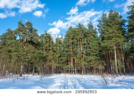 Pine Grove On A Sunny March Day With White Clouds In The Sky.