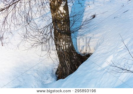 Birch Trunk And Branches Without Leaves Against The White Snow In The Rays Of The Evening Sun.