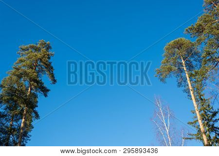 Green Peaks Of Pines And Birches Without Leaves Against The Blue Sky.