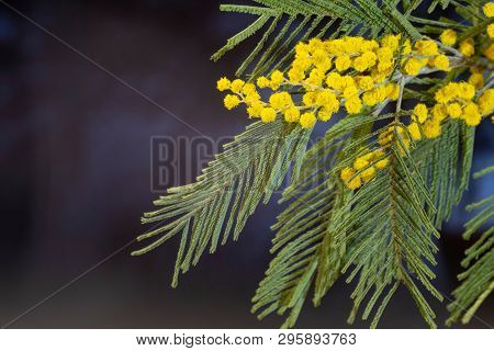 Bright Yellow Flowers Of Mimosa With Green Leaves.