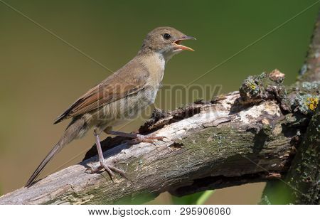 Young Common whitethroat perched on thick branch with open beak being thirsty or calling loudly poster