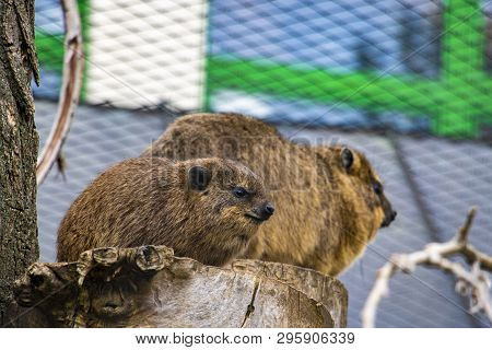 Rock Hyrax, Procavia Capensis. Rare Interesting Mammal.