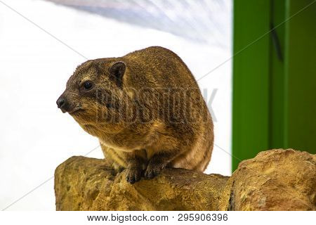 Dassie Rock Hyrax Procavia Capensis On Cliffs At Hermanus.