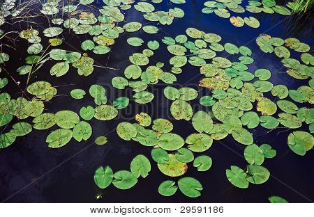 Water Lily Leafs On The Surface Of The Lake