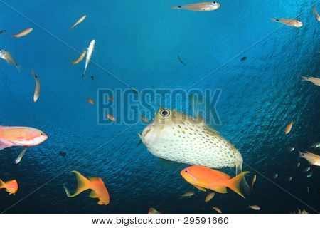 Yellowspotted Burrfish (Cyclichthys spilostylus) and other Tropical Fish in the Red Sea