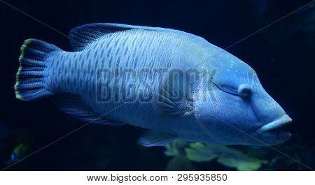 Humphead Maori Wrasse Fish / Napoleon Fish Swimming Marine Life Underwater Ocean (cheilinus Undulatu