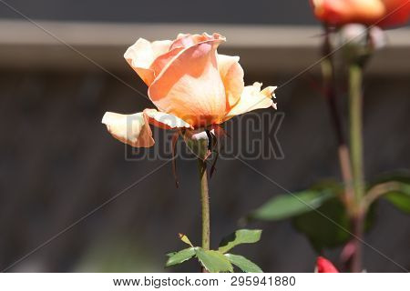 This Is A Close Up Image Of A Early Spring Time Rose Taken In Carmel, California In Late Afternoon S