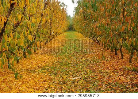 Autumn; Peach Trees Dressed In Green And Ocher