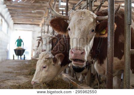 Farmer Feeding Cows In Stable