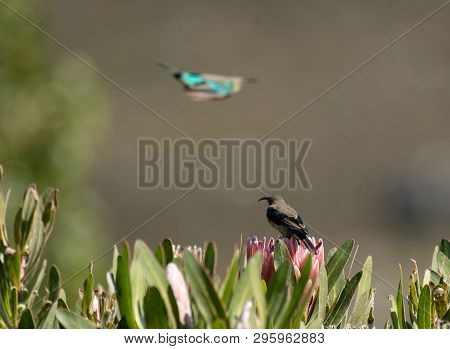 Malachite sunbird, Nectarinia famosa, sitting on king protea looking left and another Malachite in background flying away and blurred poster