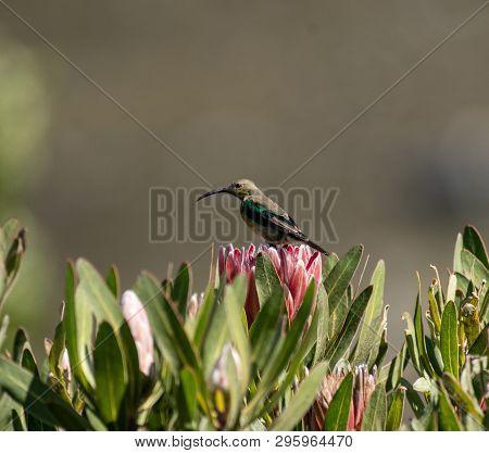 Malachite sunbird, Nectarinia famosa, sitting on king protea looking left poster
