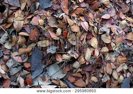 Fallen Teak Leaf On Ground, Composting Fall Leaves, Biomass And Mulch, Organic Material. High Resolu