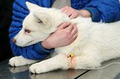 Young Akita dog with anesthetic syringe before veterinary surgery poster