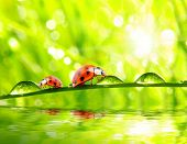 Funny picture of ladybugs drinking from dew drops on a fresh spring grass. poster