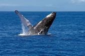 A humpback whale breaches off the coast of Maui Hawaii. These whales migrate to the warm Hawaiian waters during the winter each year to mate and give birth. poster