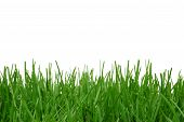 Grass isolated on a white background. White area great for added text. poster