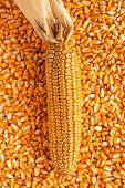 Corn cob with golden seed kernels, conceptual image with valuable agricultural crop cultivation poster