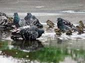 The warm gray pigeons and sparrows urban puddle in poster