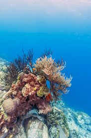 Coral Garden In Caribbean Off The Coast Of Bonaire