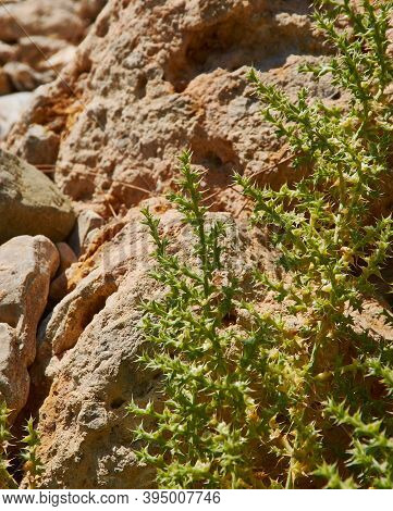 Salsola Kali, Kali Turgidum,  Commonly Known As Prickly Saltwort Or Prickly Glasswort, Is An Annual