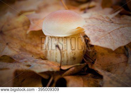 Excellent Edible Mushroom - Boletus Edulis In Fallen Leaves.beautiful Little Excellent Edible Mushro
