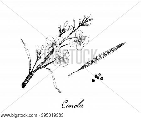 Illustration Of Hand Drawn Sketch Canola Flowers, Pod And Seeds, Source Of Vegetable Oil And Protein